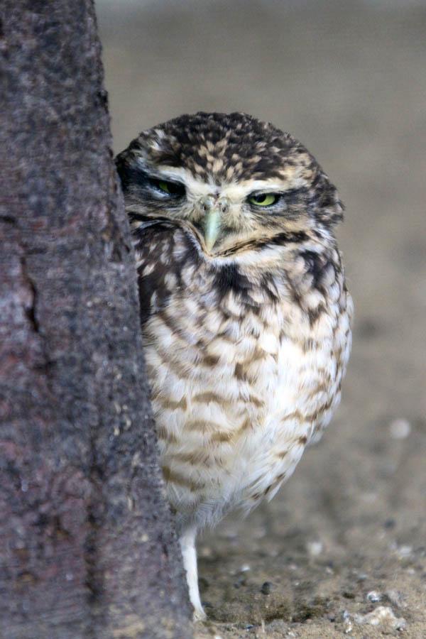 A littel shy Owl