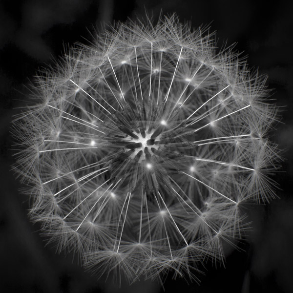 Arstic dandelion seed head image