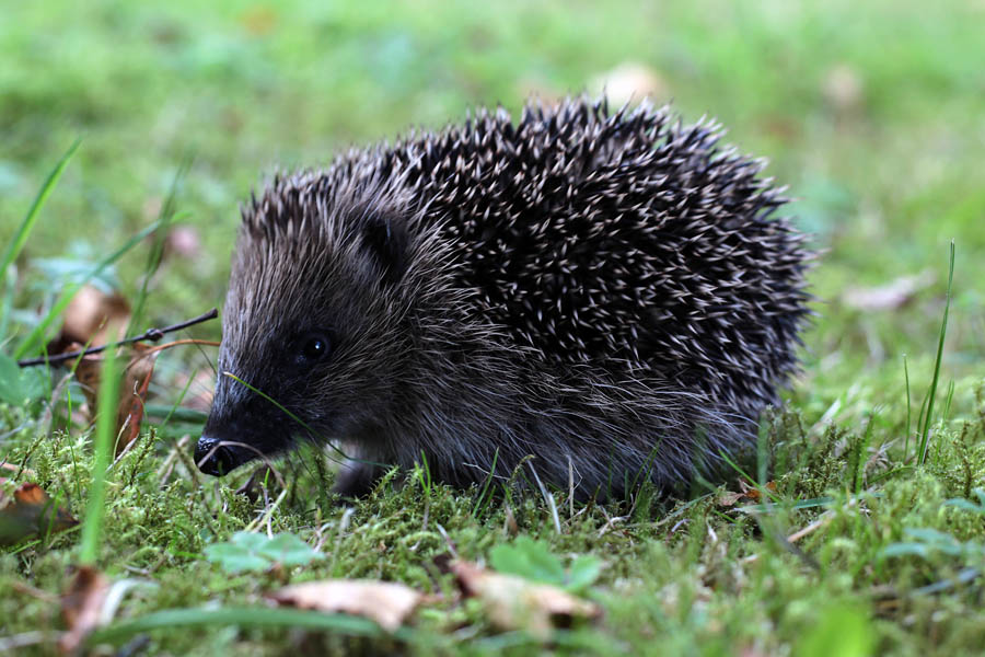 Baby hedgehog in the Lake District