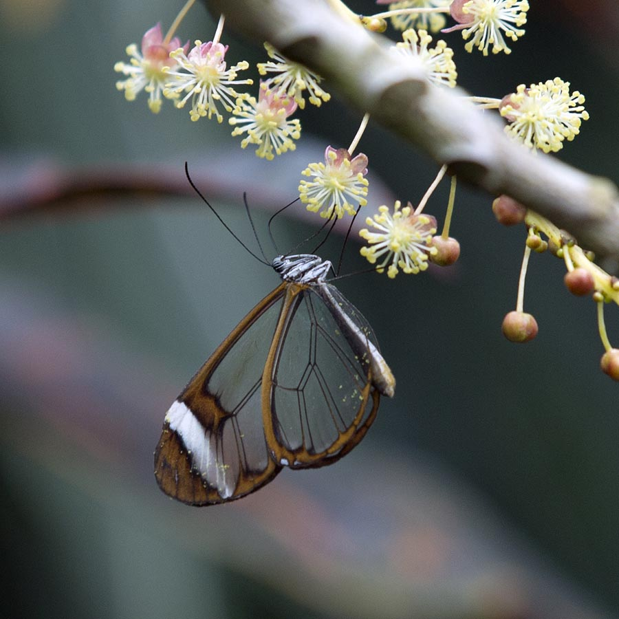 Glasswing butterfly at Wisley