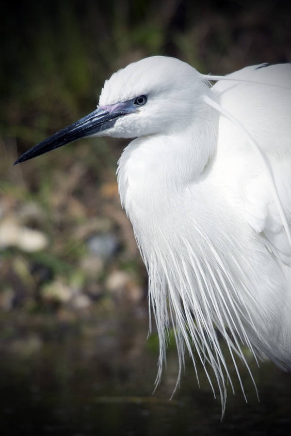 Close up profile of a beautiful Little Egret