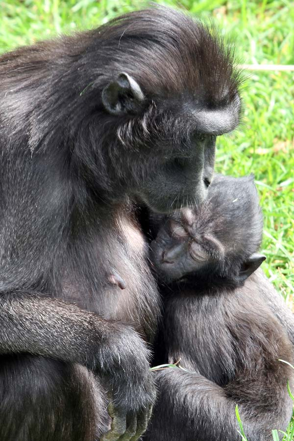 Mother feeding baby primate at Marwell Zoo