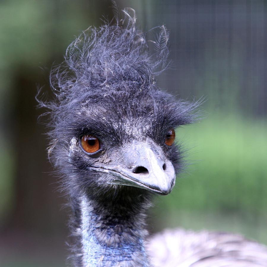 Ostrich with a bad hair day