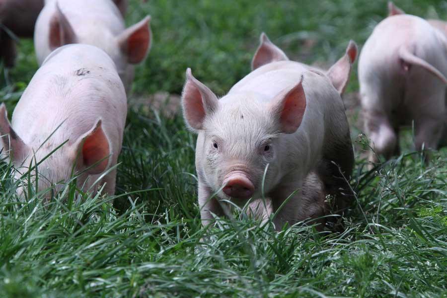 Piglets in Surrey