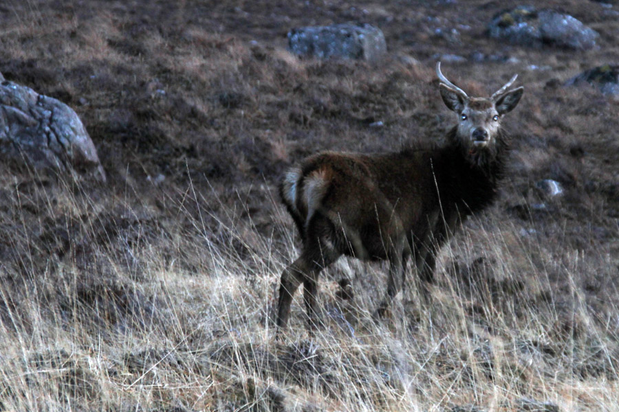 Wild deer captured near Applecross, Scotland